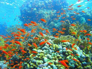 Coral reef in Ras Muhammad nature park Lolanda reef Red Sea Egypt image