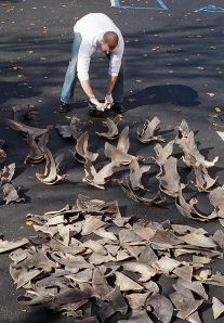 NOAA agent counting confiscated shark fins image