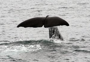Sperm Whale tail  imagw